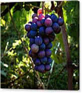 Vineyard 31 Canvas Print