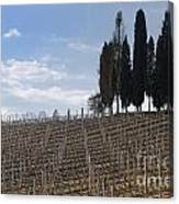 Vineyard With Cypress Trees Canvas Print