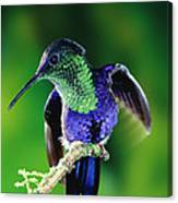 Violet-crowned Woodnymph Thalurania Canvas Print