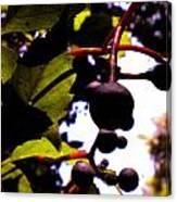 Virginia Creeper Fruit Canvas Print