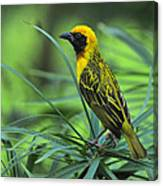 Vitelline Masked Weaver Canvas Print