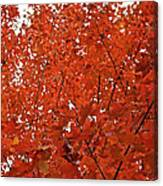 Vividly Sugar Maple Canvas Print