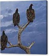 Vultures Perched On A Branch No.0022 Canvas Print