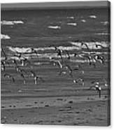 Wading Birds In Flight V4 Canvas Print