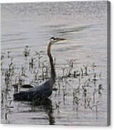 Wading Blue Heron - Ardea Herodias Canvas Print