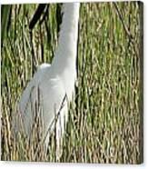 Wading Great Egret Canvas Print