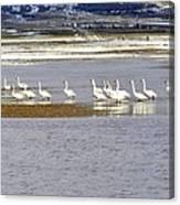 Wading Swans Canvas Print