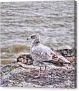 Waiting Gull Canvas Print