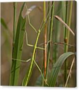 Walking Stick Insect Canvas Print