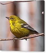 Warbler - Pine Warbler - Oh So Yellow Canvas Print