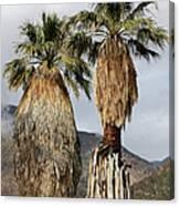 Washingtonia Filifera Fan Palms Canvas Print