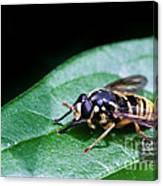 Wasp Break Canvas Print