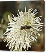 Wasp On Fothergilla 5 Canvas Print