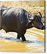 Water Buffalo Canvas Print