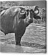 Water Buffalo In Black And White Canvas Print