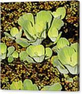 Water Lettuce Canvas Print