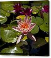 Water Lilly 6 Canvas Print