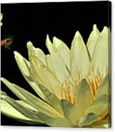 water lily 3 Yellow Water Lily with Bee Canvas Print