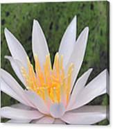 water lily 85 Arc-en-ciel Canvas Print