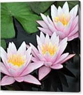 water lily 88 Sunny Pink Water Lily with Reflection Canvas Print