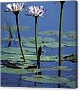 Water Lily Flowers Bloom From A Wetland Canvas Print