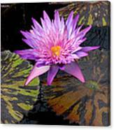 Water Lily Magic Canvas Print