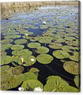 Water Lily Nymphaea Sp Flowering Canvas Print