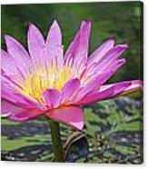 Water Lily On A Sunny Day Canvas Print