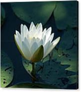 Water Lily Reaching Canvas Print