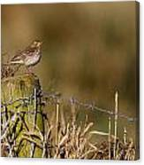Water Pipit On Post Canvas Print