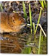 Water Vole At Dusk Canvas Print