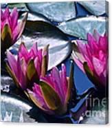 Waterlilies In Bright Sunlight Canvas Print