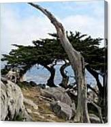 Weathered Tree On California Coast Canvas Print