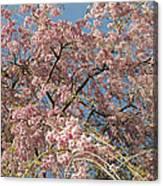 Weeping Cherry Tree In Bloom Canvas Print