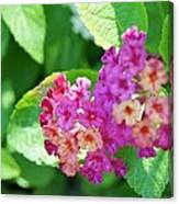 Weeping Lantana Canvas Print