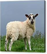 Wensleydale Lamb Canvas Print