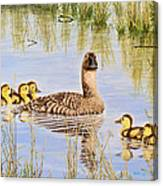 We're Coming - Canvasback And Brood Canvas Print