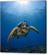 West Maui Sea Turtle Canvas Print