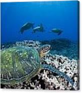 West Maui Sea Turtles Canvas Print