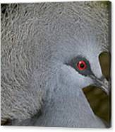 Western Crowned-pigeon Goura Cristata Canvas Print