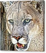 Western Mountain Lion Canvas Print
