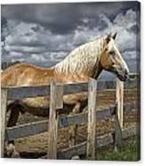 Western Palomino Horse In Alberta Canada No.1335 Canvas Print