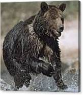 Wet Grizzly Bear Running In Stream Canvas Print