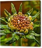 Wet Pinchshin Bud Canvas Print