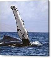 Whale Fin Above Water Canvas Print