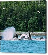 Whales Bubble Net Feeding Canvas Print