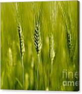 Wheat On The Field Canvas Print