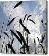 Wheat With Blue Sky Canvas Print