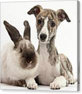 Whippet Pup With Colorpoint Rabbit Canvas Print