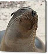 Whiskers On The Face Of A Fur Seal Canvas Print